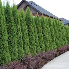 51 Ideas Backyard Privacy Landscaping Trees Drought Tolerant For 2019 Landscaping Trees, Privacy Landscaping, Modern Landscaping, Front Yard Landscaping, Backyard Patio, Inexpensive Landscaping, Backyard Ideas, Arborvitae Landscaping, Arborvitae Tree