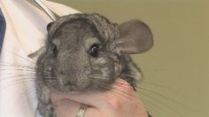 How to Potty-Train a Chinchilla (4 Steps) | eHow