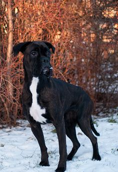A fabulous boxer showing off reverse-seal brindle!   Flickr - Photo Sharing!