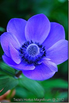 Anemone deCaen 'Blue Poppy' is a delightful corm that produces stunningly beautiful flowers in late Spring. For those too timid to attempt the real thing [Meconopsis] this one always delights