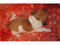listing Adorable Male And Female Rat Terrier Pup... is published on Free Classifieds USA online Ads - http://free-classifieds-usa.com/for-sale/animals/adorable-male-and-female-rat-terrier-puppies_i29688