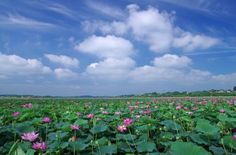 Naganuma lotus Festival. Looking for more information aboout Miyagi? Go Visit Association of Tome-city sightseeing. http://www.tome-city.com/