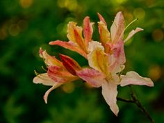 Rhododendron Wallpaper, Green, Plants, Flowers, Wallpapers, Wall Papers