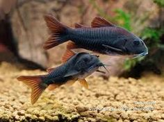 black venezuelan corydoras - Google Search