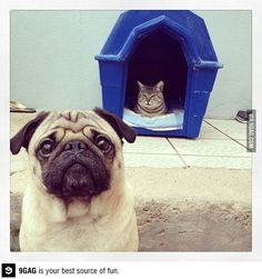 Poor Mr. Pug has been evicted by Mr. Kitty