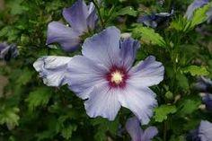Resultado de imagem para Hibiscus sororius L. f. - Malvaceae