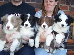 Blk/White, Red/White and Lilac and White Border puppies...LOVE!