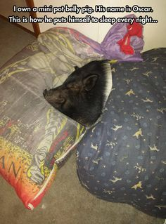 Mini pot belly pig…