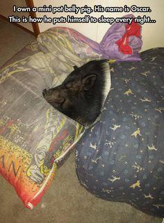 Mini pot belly pig…