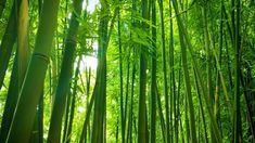 A bamboo forest in Hawaii offers a peaceful respite from the bustle of daily life. The unique sound of the bamboo shoots swaying in the breeze is a relaxing . Bamboo Species, Clumping Bamboo, White Noise Sound, Black Bamboo, Nature Sounds, Small Leaf, Image Types, In The Tree, Round Corner