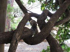 #maremma #tree #knot #nature #italy