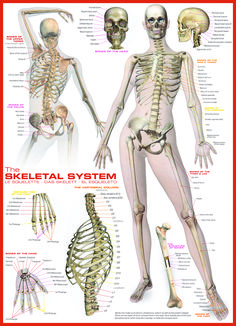 EuroGraphics Skeletal System (Human Body) 1000-Piece Puzzle. Learn about the bones of the human body. Features details of the skull, the foot, the hand, the vertebral column and the bone structure.
