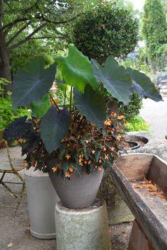 calocasia and begonias
