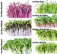 We love anything with nano-greens . these small veggies have big personalities! Microgreens seemed on Growing Sprouts, Growing Microgreens, Growing Herbs, Hydroponic Farming, Aquaponics, Edible Plants, Edible Garden, Micro Garden, Sprouting Seeds