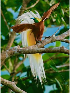 A Lesser Bird-of-Paradise flaunts his flank plumes to entice females