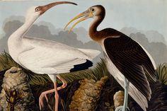 http://www.thedoublenegative.co.uk/blog/wp-content/uploads/2012/05/audubon-birds.jpg John James Audubon