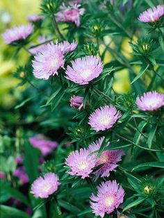 Tough Strokes' Aster can withstand hot, humid weather. More plants for humid conditions: http://www.bhg.com/gardening/gardening-by-region/south/top-native-plants-for-southern-gardens/?socsrc=bhgpin062112#page=7