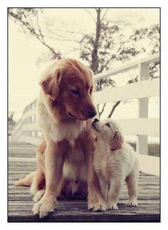 Golden Retriever ve köpek yavrusu