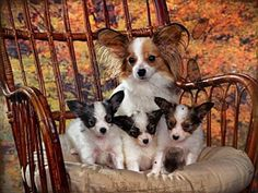 Chihuahua Puppies For Sale In Texas