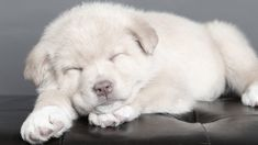 Discover the Chow Chow Husky mix, known as the Chowski or Chusky dog. Everything you need to know about Husky Chow mix temperament, puppies, and more. Corgi Husky, Cute Husky, Small Husky Mix, Chow Chow Husky Mix, Puppy Socialization, Puppy Stages, Dog Area, Sleeping Puppies, Training Your Puppy