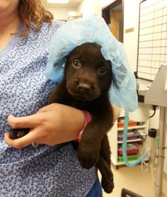 Vet Saves Chocolate Lab Puppy No Bigger Than Chocolate Milkshake From Euthanasia And Then Adopts It