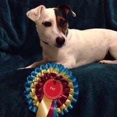 donnajcannon:  Rex and his first for Handsome Dog! #jrt #jack #jackrussell #jackrussellterrier #rex #rosette #1st #first #erste #hund #schön #terrier #dog #handsome #winner