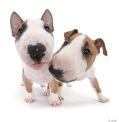 Artlist Collection THE DOG (Bull Terrier) — People who have pets live longer, have less stress and fewer heart attacks.