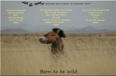 Découvrez les chevaux de Przewalski sur le Causse Méjean, plus d'informations sur http://www.takh.org/