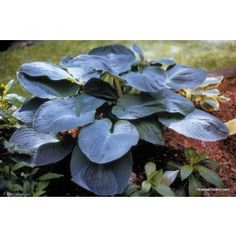 Giant Hosta Cultivar Mississippi Delta Hosta is a magnificent blue gray hosta that can reach five feet across! Leaves with deeply impressed veins are dis Hosta Plants, Shade Perennials, Shade Plants, Garden Plants, Giant Hosta, Hosta Flower, Plantain Lily, Hosta Varieties, Sempervivum