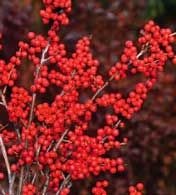 Winterberry    Few deciduous shrubs garner winter interest like winterberry. Unlike its cousin, holly, winterberry drops its leaves in fall, so nothing detracts from the showy brilliance of the red berries. Winterberry is often regarded as a must for cold-weather landscaping, and it's easy to see why. You'll love the colorful fruit, and the birds will love you for it.