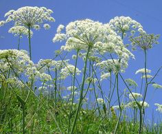 Queen Anne's Lace: you can put it in water with food color so it will turn different colors.