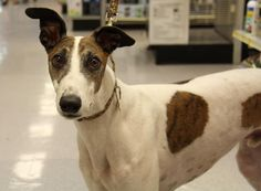 Frost Greyhound • Adult • Male • Large Greyhound Gang of Florida Inc. Seffner, FL