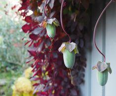 Massevis av frø til neste års klokkeranke. Planters, Wreaths, Tips, Decor, Lattices, Decoration, Door Wreaths, Plant, Deco Mesh Wreaths