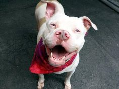 TO BE DESTROYED 7/19/15 My name is CHINA. My Animal ID # is A1042899.  ***A private donor has graciously offered to pay $200 to the New Hope partner that pulls China.*** I am a female white and tan amer bulldog and am pit bull ter mix. The shelter thinks I am about 4 YEARS old.  I came in the shelter as a OWNER SUR on 07/06/2015 from NY 10458, owner surrender reason stated was MOVE2PRIVA.