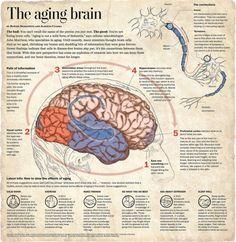 The aging brain