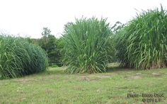 Highest yields of guinea grass can be similar to Napier grass. But if obtained, guinea grass can be much cheaper feeedstock as establishment costs are much lower