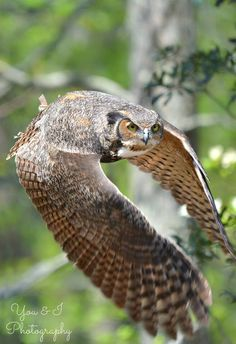 Ohio Division of Wildlife Life History Notes Great Horned Owl