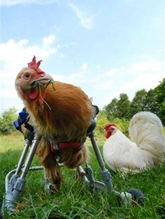 New York rooster's wheelchair after a broken leg. Credit: K-9 Cart Company East