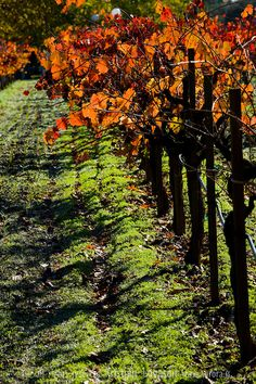 Autumn colored leafs of vineyard in St. Helen Napa Valley California