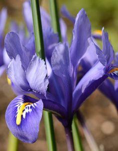 Koop bloembollen van Iris reticulata 'Harmony' bij De Warande. 'Harmony' heeft helder blauwe bloemen en kan verwilderen op zonnige warme plekjes. Iris Reticulata, Flora, Plants, Bearded Iris, Lilies, Plant, Planets