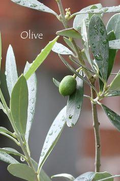 Olives - Olijven. A oliva, de onde vem o azeite de oliva - prensado a frio - em vidro escuro - com baixa acidez  e aprovado nos testes quanto a sua veracidade!