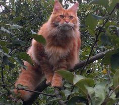 Maine coon cat. AmbientCat Boise.