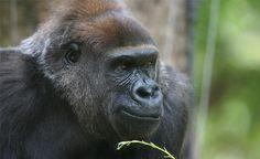 Gorilla Yuska MZ