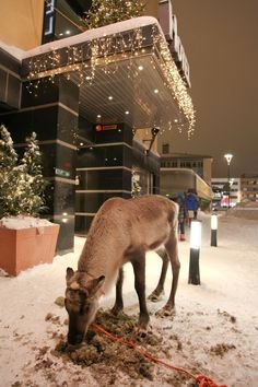 You can park your reindeer in front of the bar while having a beer on your reindeer ride in #Rovaniemi, capital of Finnish #Lapland :)