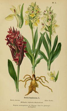 1899 - Album des orchidées de l'Europe centrale et septentrionale, - Biodiversity Heritage Library