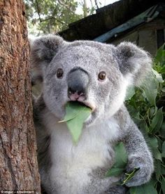 Wait a minute: Did this koala just have an existential moment? No, it's probably just chom...