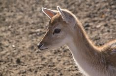 Farrow deer fawn