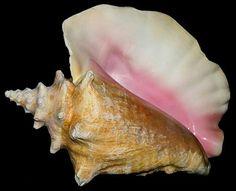 Pink Queen Conch Strombus gigas
