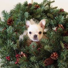 """""""I've been Wreathed for Christmas!"""", Leo, the French Bulldog Puppy, @frenchieleo"""