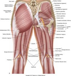 Five Muscles of Sacroiliac Stabilization - Part 1 - Piriformis Hip Muscles Anatomy, Human Body Anatomy, Thigh Muscles, Human Anatomy And Physiology, Muscle Anatomy, Muscle Diagram, Medical Anatomy, Skeletal Muscle, Massage Therapy
